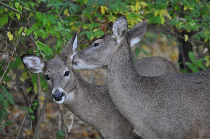 Secrets between sisters, White Tail Deer, copyright 2014 Pamela Breitberg