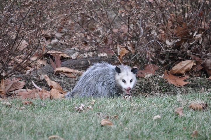 One of three opossums, copyright 2014 Pamela Breitberg