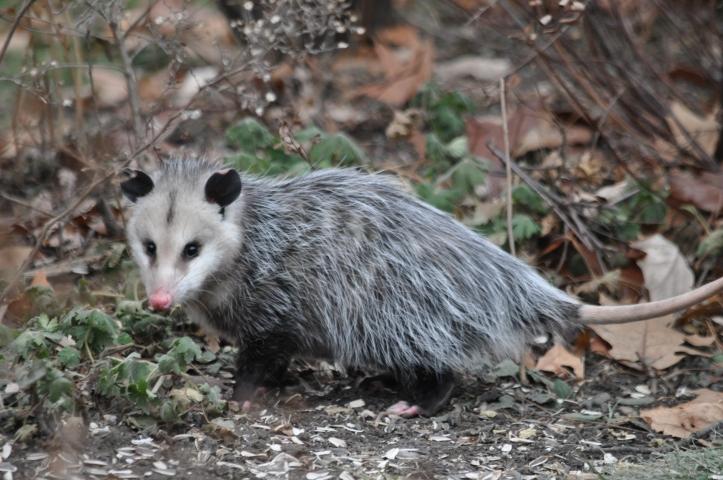 Opossum among the fallen sunflower seeds, copyright 2014 Pamela Breitberg
