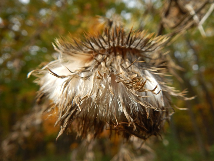 Close up of fuzzy, detail full, seed head; copyright 2014 Pamela Breitberg