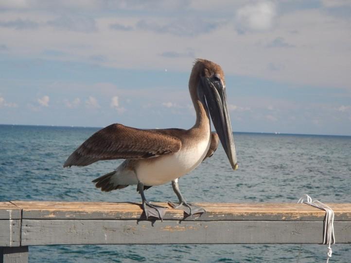 Active juvenile Brown Pelican, copyright 2015 Pamela Breitberg