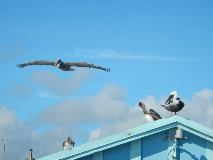 Young (brown heads) and elder (white heads) Brown Pelicans gather at Anglin's Pier in Lauderdale by the Sea, Florida, much to my pleasure.  copyright 2015 Pamela Breitberg