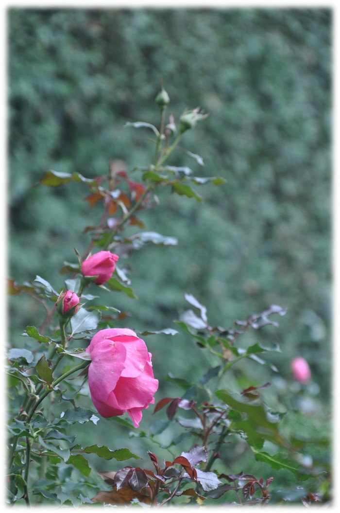 Lovely roses at Chicago Botanic Garden this past fall, copyright 2015, Pamela Breitberg