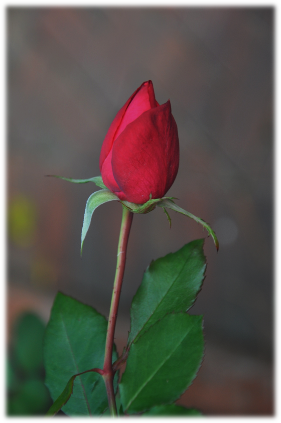 Rose bud for budding love, copyright 2015 Pamela Breitberg