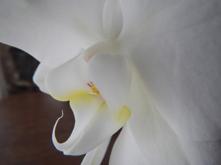 Orchid in bloom, copyright 2015 Pamela Breitberg