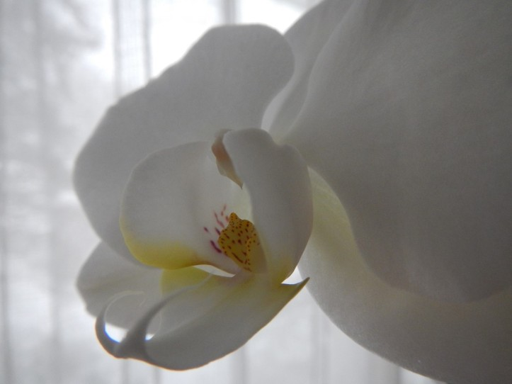 Orchid against lace and snow, copyright 2015 Pamela Breitberg