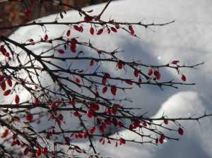 Barberry berries hanging on throughout winter's storms, copyright 2015 Pamela Breitberg