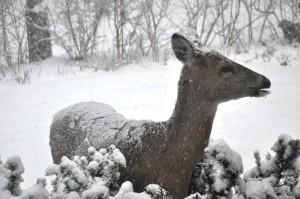 Deer enjoying our Yew, copyright 2015 Steven Breitberg