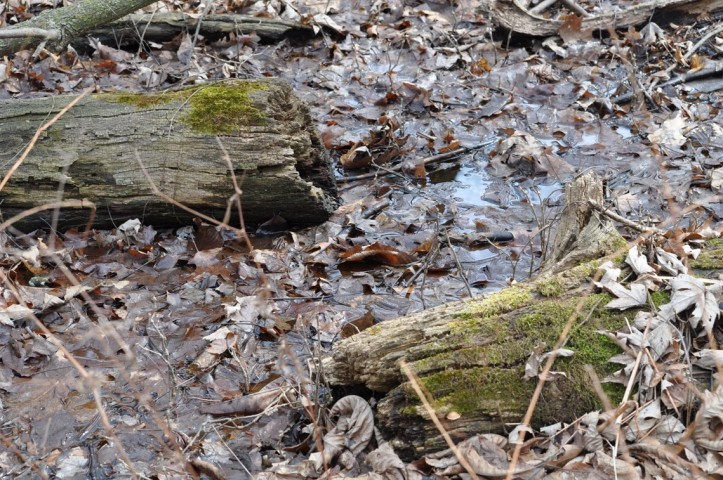 Vernal spring pond with moss laden logs, copyright 2015 Pamela Breitberg