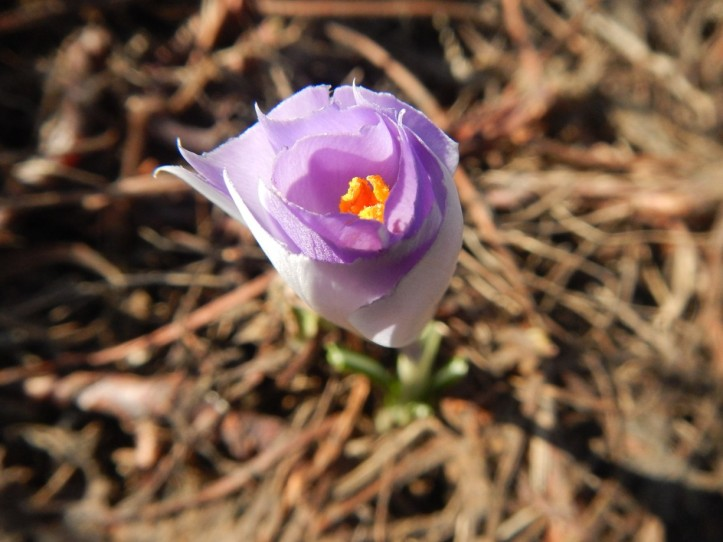 Another view of top-cropped Crocus. copyright 2015 Pamela Breitberg