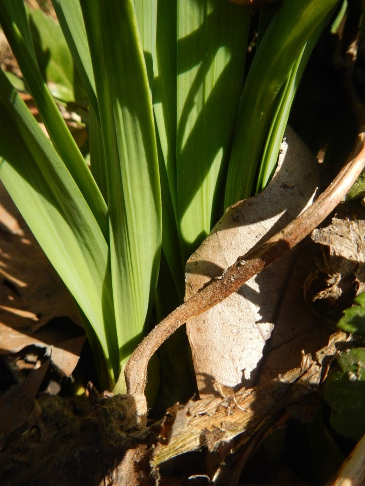 Decomposing garden remnants pushed aside by emerging daffodil leaves. copyright 2015 Pamela Breitberg