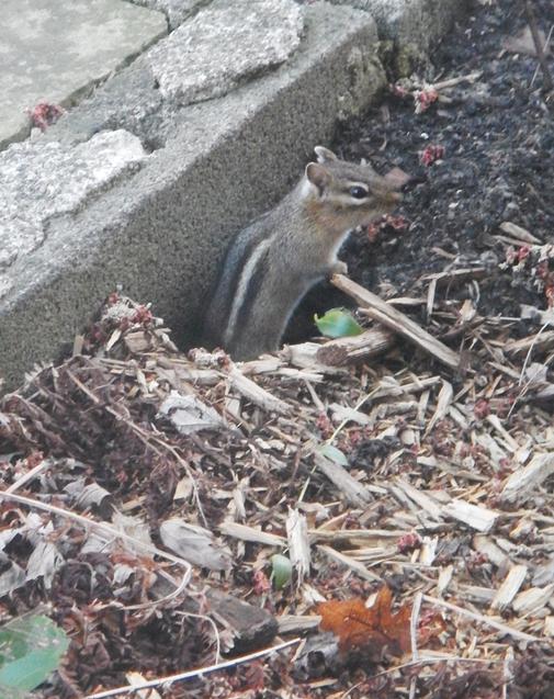 Chipmunk enjoying spring's warming. copyright 2015 Pamela Breitberg