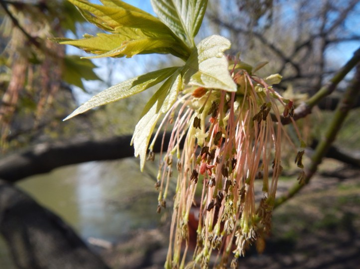 What is this tree? What stage of growth..seeds or spent flowers?  Copyright 2015 Pamela Breitberg