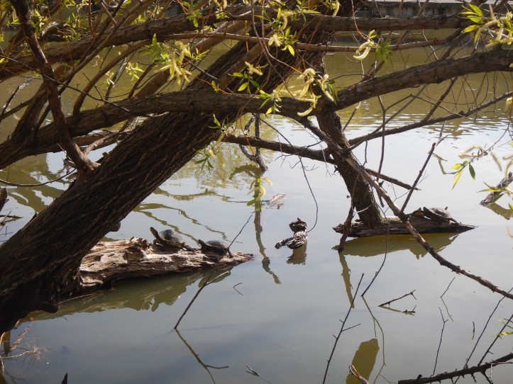 Red ear slider turtles sunning near edge of North Pond, Lincoln Park.  Setting for this tree in fuzzy seed stage. copyright 2015, Pamela Breitberg