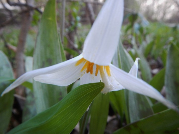 White Trout Lily on forest floor, copyright 2015, Pamela Breitberg