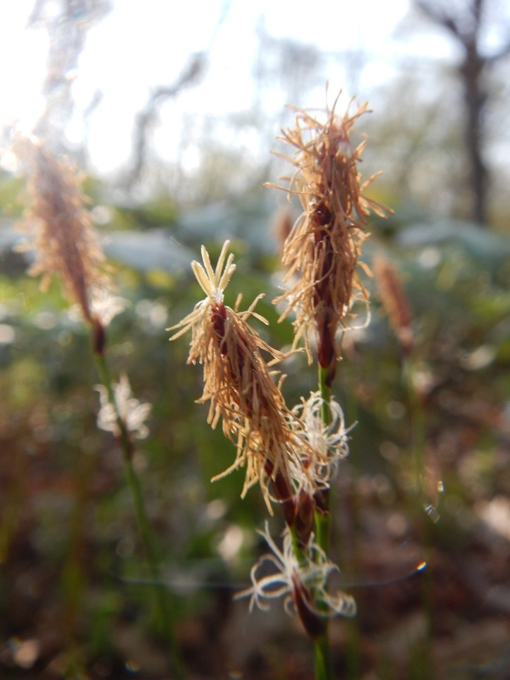 Sedge in Cook County Forest Preserve, Chicago. Copyright 2015 Pamela Breitberg