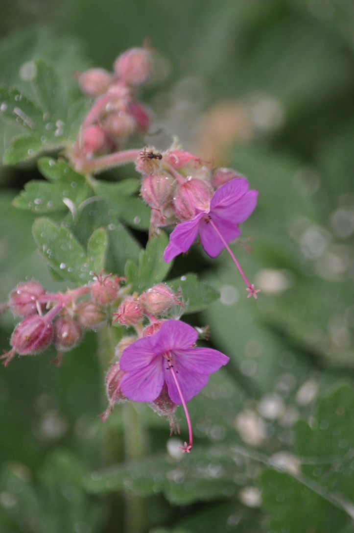 Piny purple Cranesbill with insect. copyright 2015 Pamela Breitberg