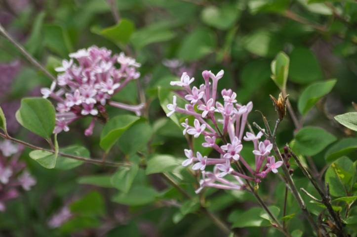 Lilac colored Lilacs, copyright 2015 Pamela Breitberg