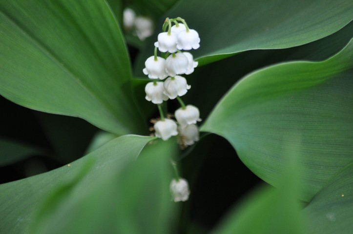Lily of the Valley, copyright 2015 Pamela Breitberg