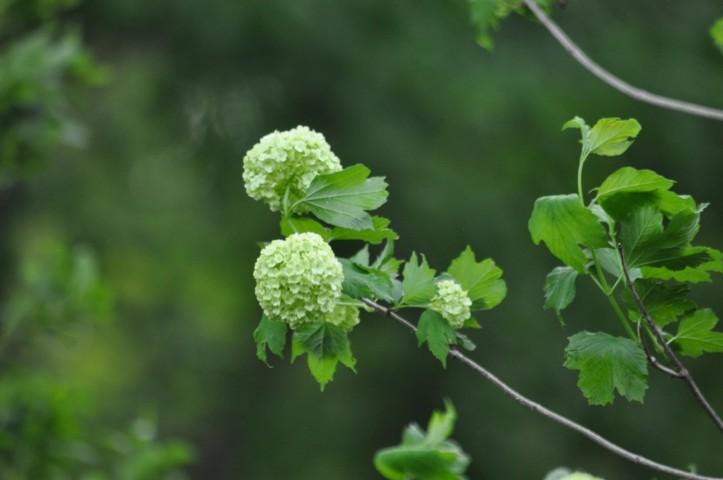 Still ripening Snowball bush. Copyright 2015, Pamela Breitberg