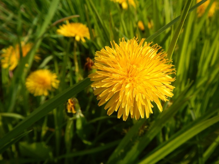 Dandelions in the grass. Copyright 2015 Pamela Breitberg