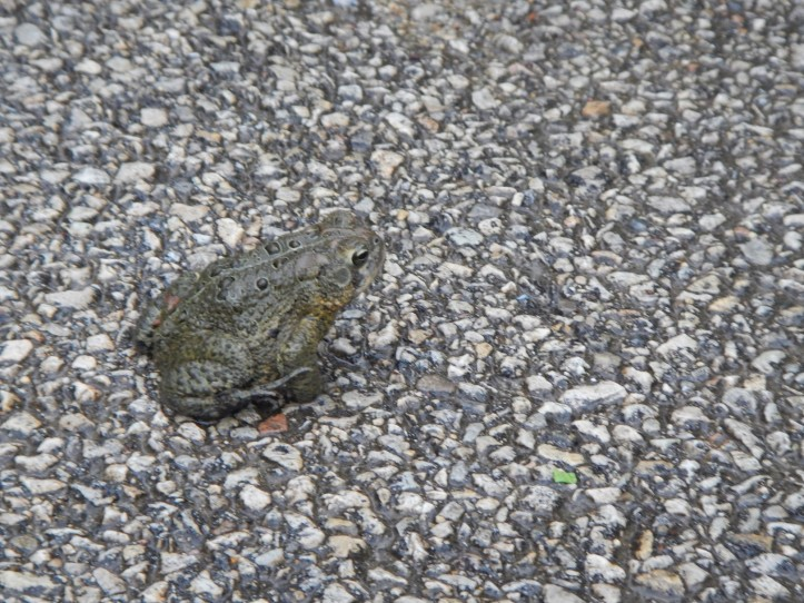 Wet  toad camouflaged  on wet path. Copyright 2015 Pamela Breitberg