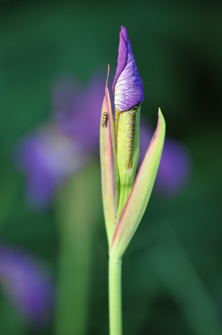 Purple hued Bearded Iris bud, Copyright 2015 Pamela Breitberg