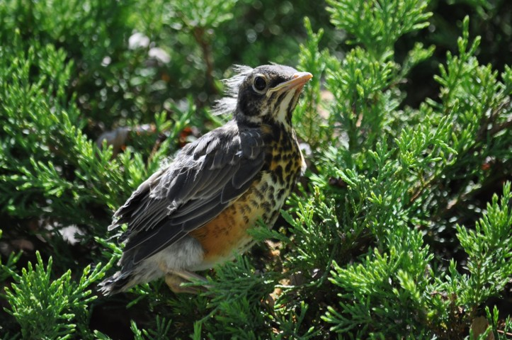 Young Robin with some remaining new-born downy feathers. Copyright 2015, Pamela Breitberg
