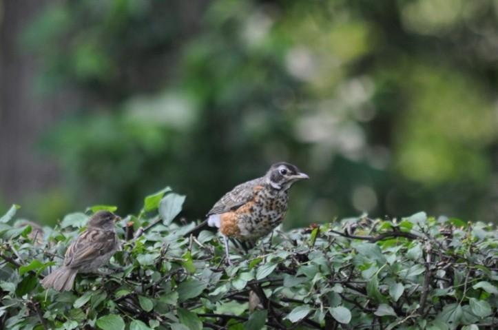 Young Robin socializing with neighboring Sparrow. Copyright 2015 Pamela Breitberg