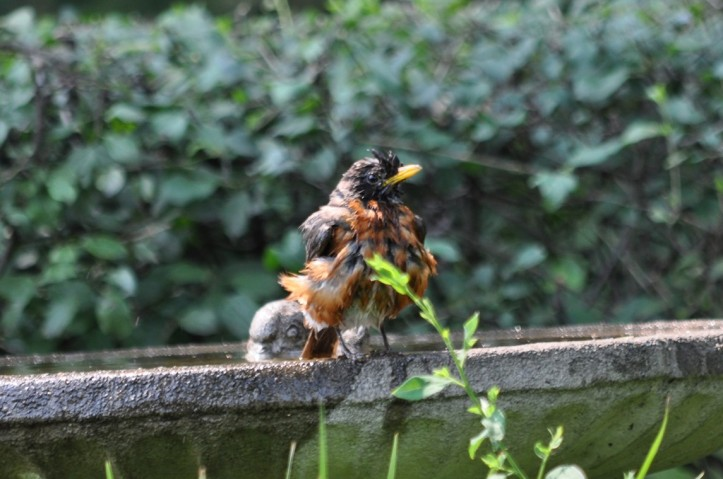 Young Robin with still some new-born downy feathers. Copyright 2015 Pamela Breitberg