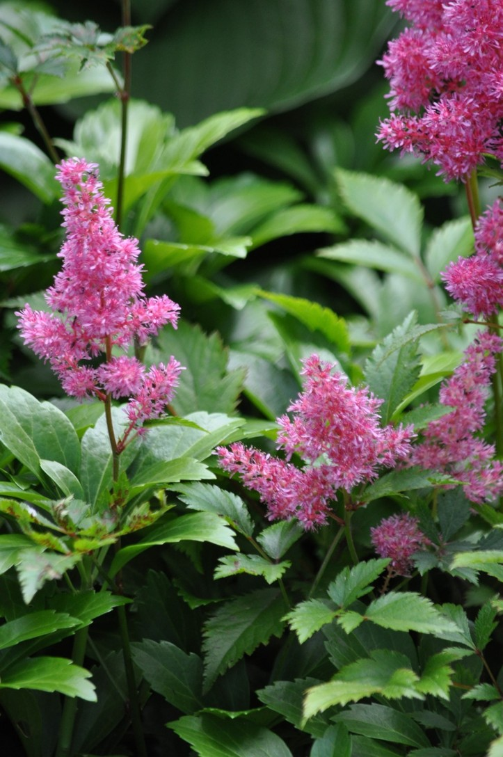 Blooming Astilbe among Pachysandra ground cover. Copyright 2015 Pamela Breitberg