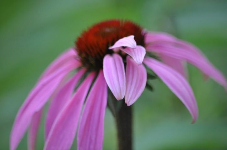 Cowlick on bloom? Copyright 2015, Pamela Breitberg