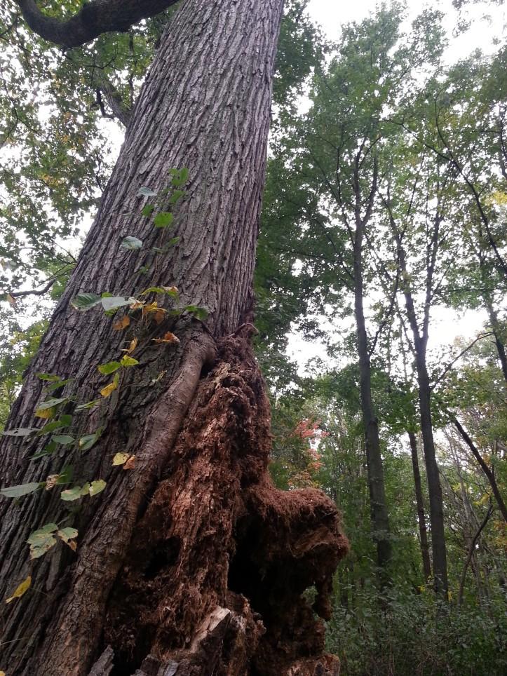 Mature oak tree in the winter of it's life. Copyright 2015 Pamela Breitberg