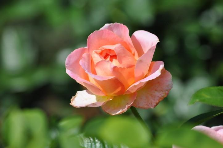 End-of-the-season Rose. Copyright 2015 Pamela Breitberg