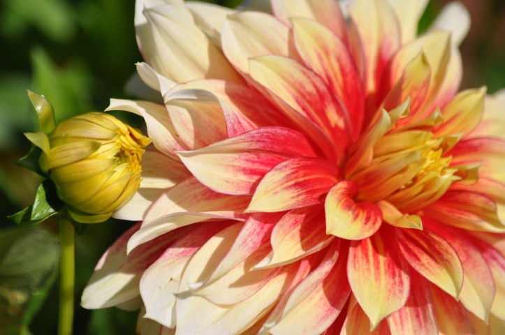 Dahlias at the Chicago Botanic Garden. Copyright 2015 Pamela Breitberg