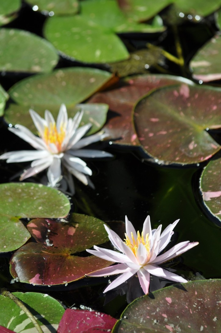 Almost-winter white Water Lilies. Copyright 2015 Pamela Breitberg