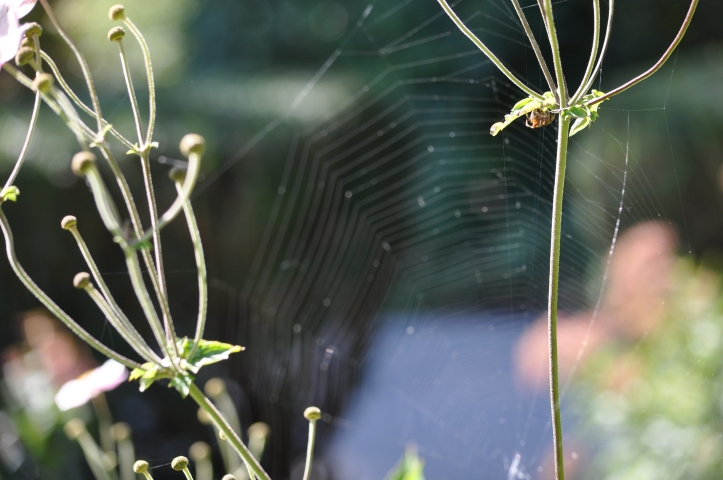 Spiderweb between two Japanese Anemone. Copyright 2015 Pamela Breitberg