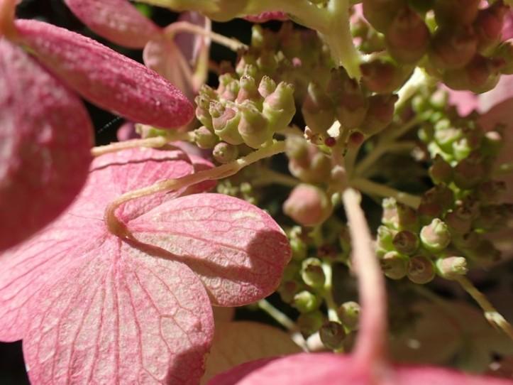 Macro view of Hydrangea bloom and seeds. Copyright 2016 Pamela Breitberg