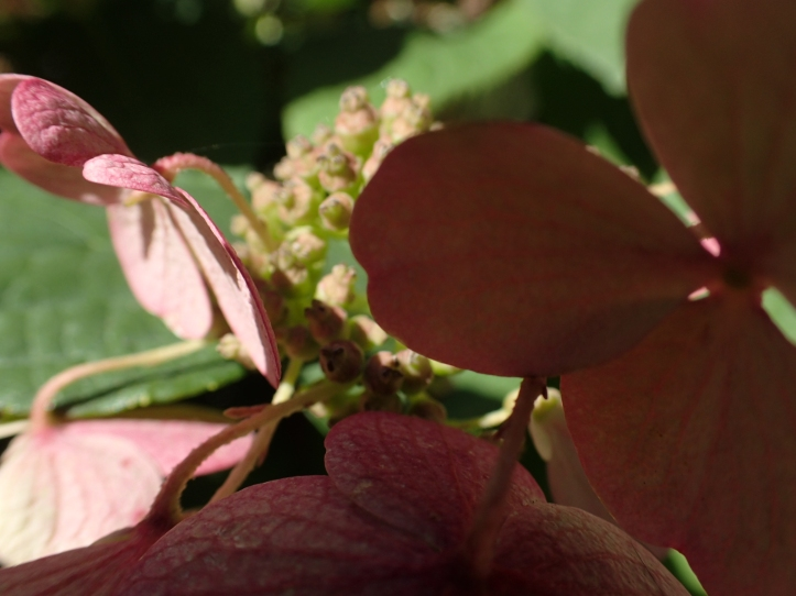 Light and shadow of a macro view of Hydrangea. Copyright 2016, Pamela Breitberg