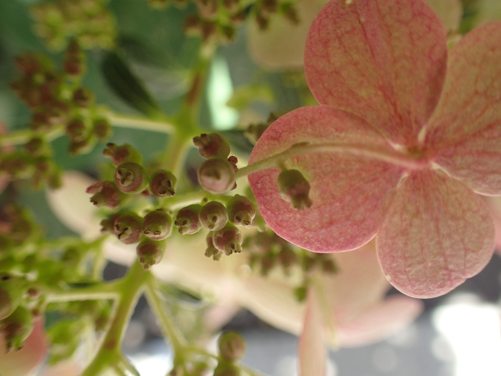 Hydrangea seeds in Lincoln Park, Chicago. copyright 2016, Pamela Breitberg