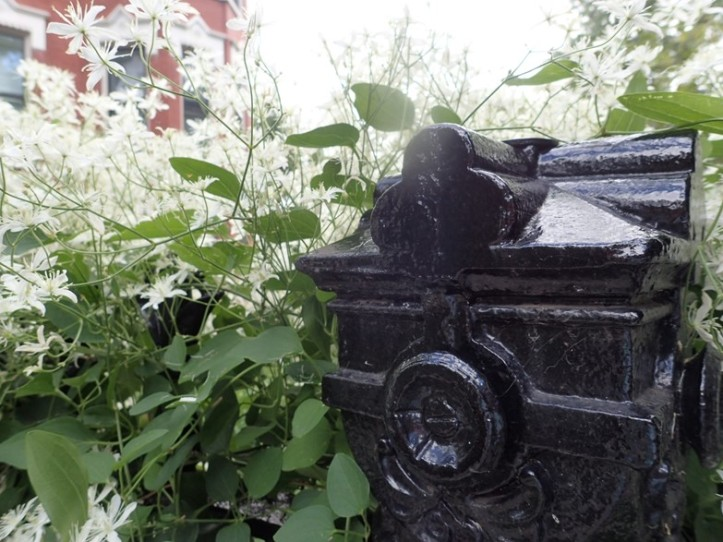 Prolific vine on estate's antique fence. Copyright 2016 Pamela Breitberg