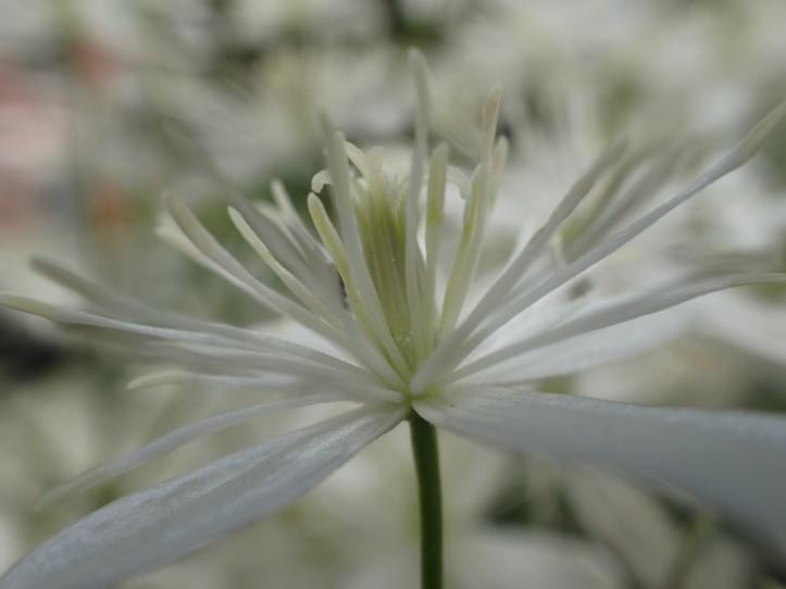 Portrait of a blossom. Copyright 201, Pamela Breitberg