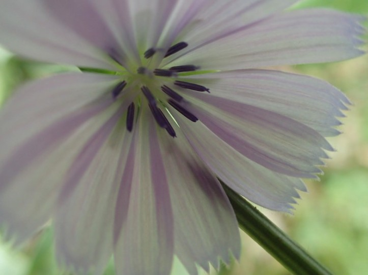 Micro view of fall Aster. Copyright 2016, Pamela Breitberg