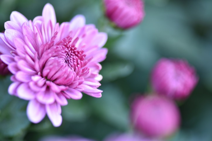 Fall garden closeup of Mums. Copyright 2016, Pamela Breitberg